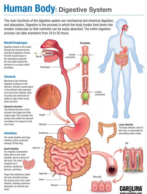 Digestive-System-infographic2